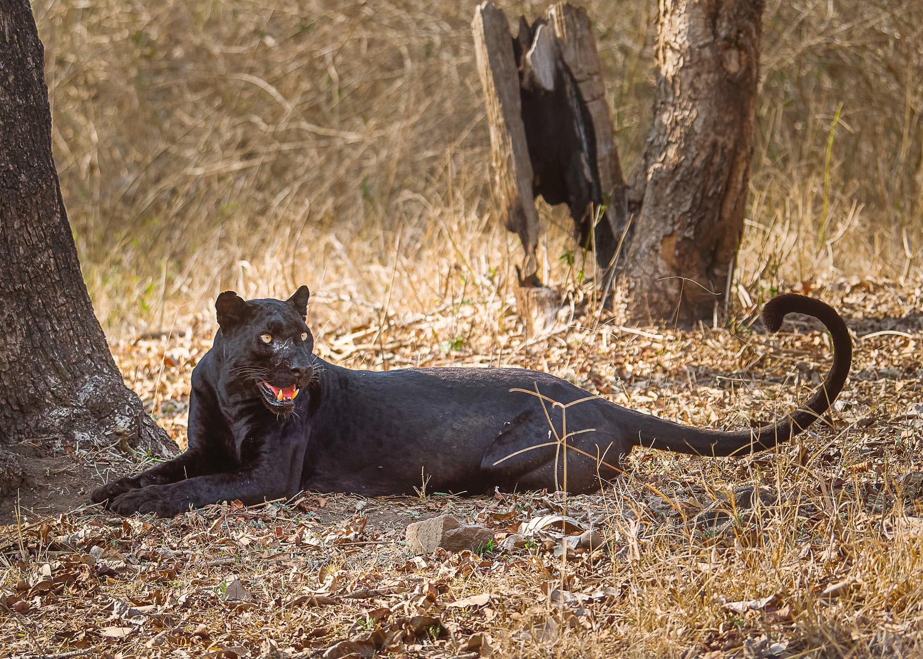 Panther Texture 2.jpg