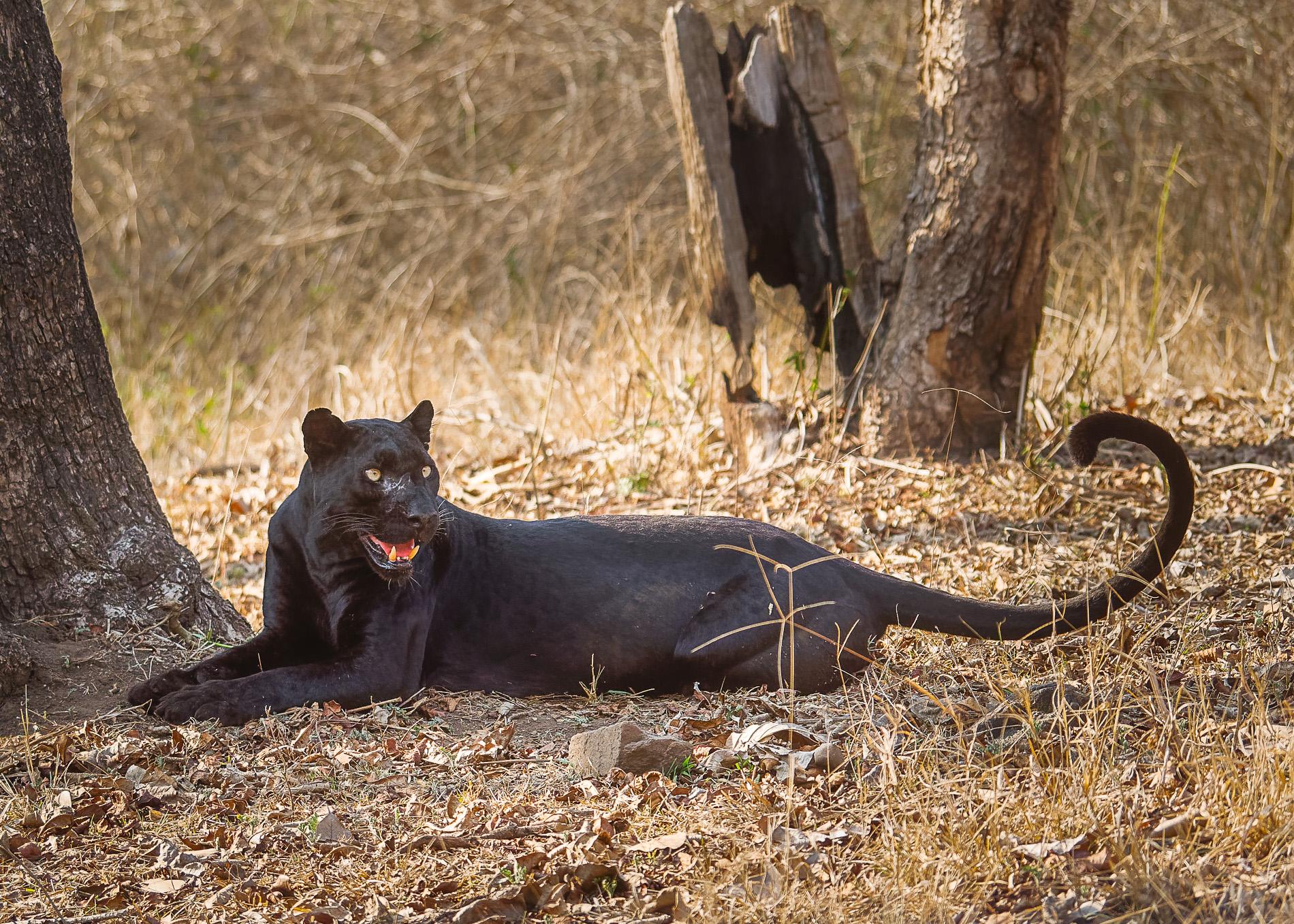 Panther Texture 3.jpg